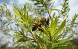 groene propolis