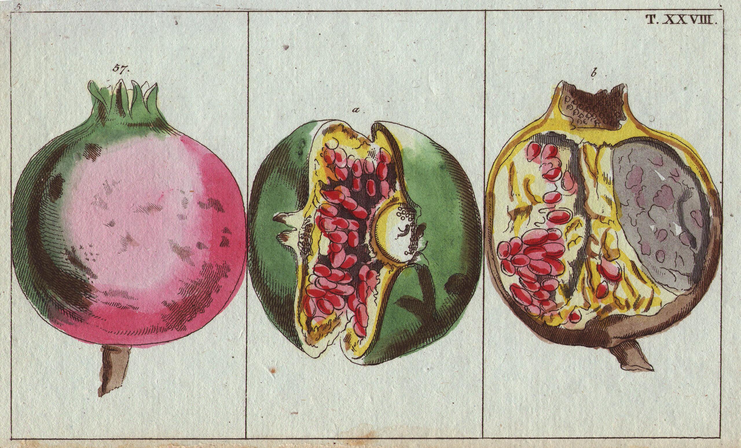 De geschiedenis van de granaatappel